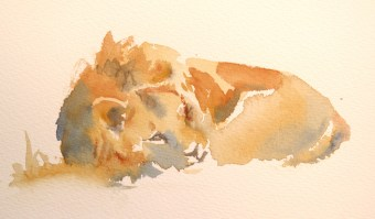 Red , Marsh Pride Lion  4 x 7 inches watercolour