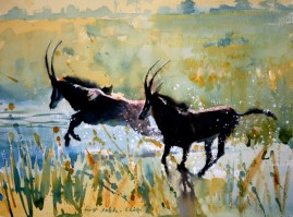 sable on the Chobe  12 x 16 watercolour